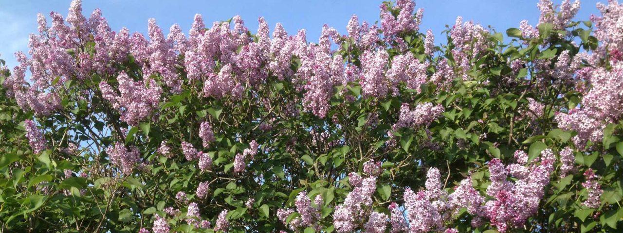 Slider 4 – Lilacs